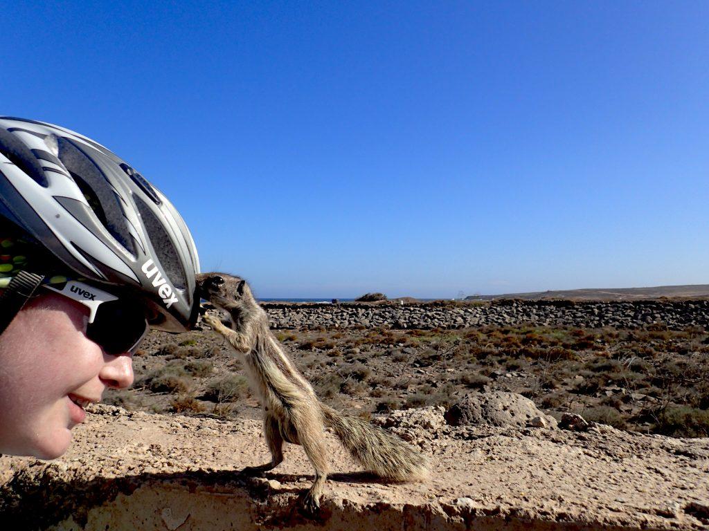 Kleines Atlashörnchen schnuppert an Babsis Helm in Fuerteventura auf den kanarischen Inseln